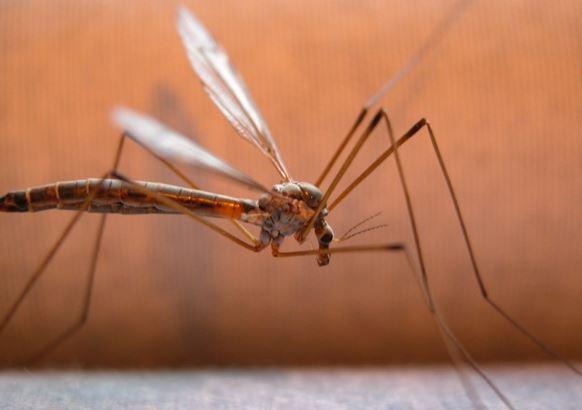 mosquitos_20937