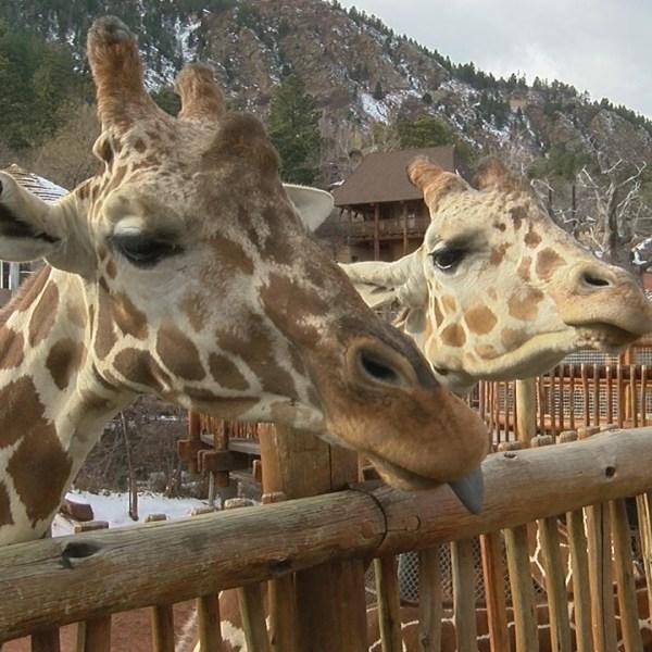 giraffes_209647