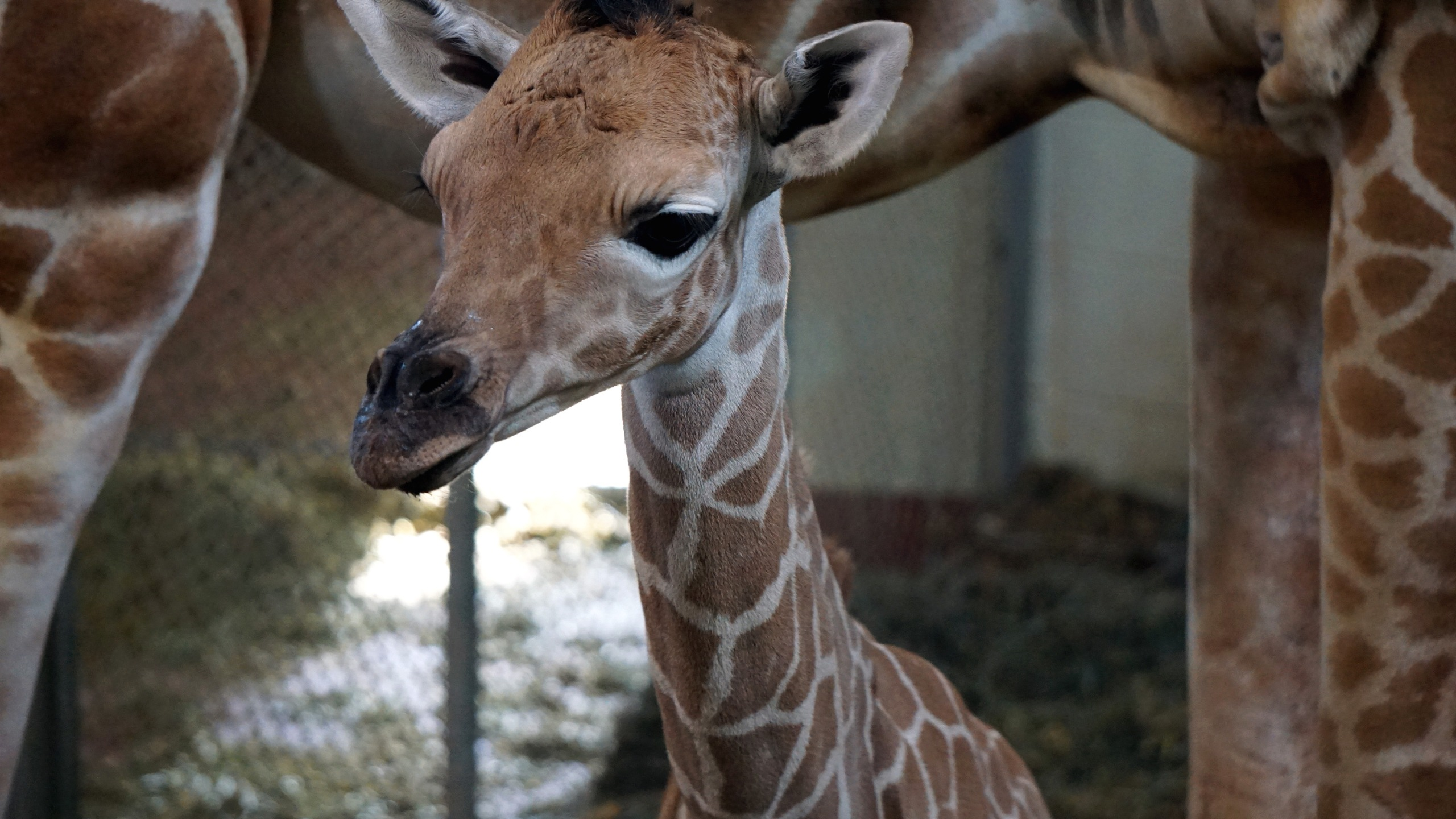 The newborn giraffe calf _ Courtesy Cheyenne Mountain Zoo_255265