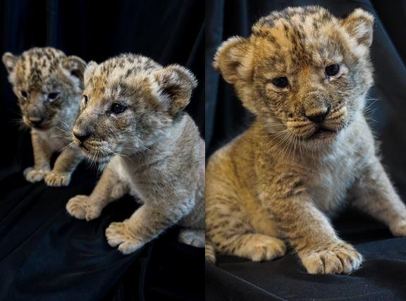 Pueblo Zoo Lion Cubs.JPG
