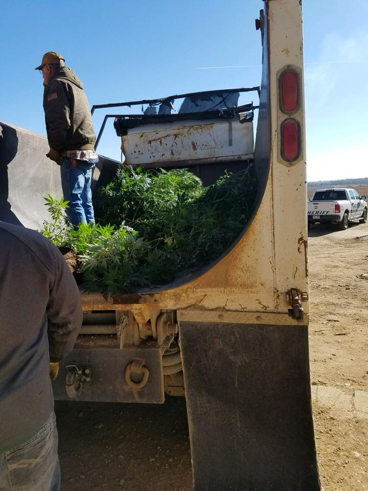 Deputies remove illegal marijuana plants from a home on Highway 96 west of Fowler Wednesday. Crowley County Sheriff's Office
