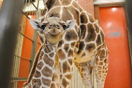 dobby the giraffe.JPG