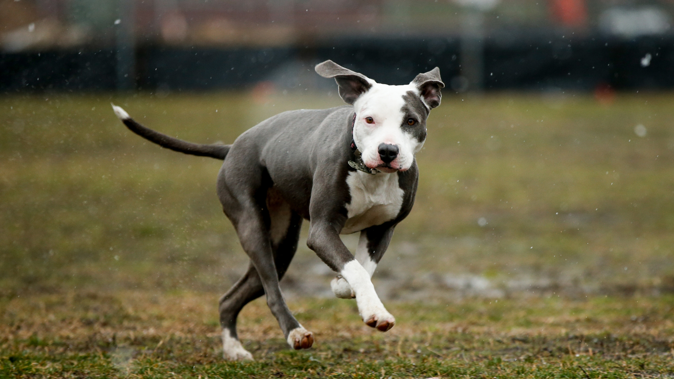 Jasmine, a pit bull rescue, runs through light snow on the National Mall in Washington, Friday, March 20, 2015, on the first day of spring. AP Photo