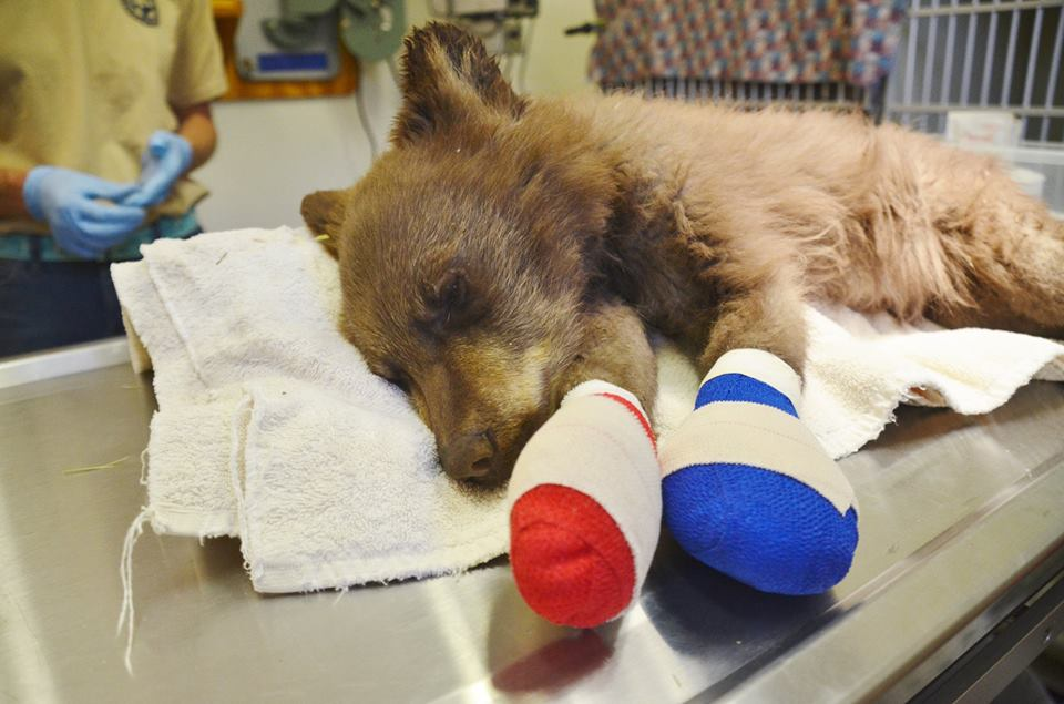 This bear cub is being treated for injuries it sustained in the416 Fire near Durango. Colorado