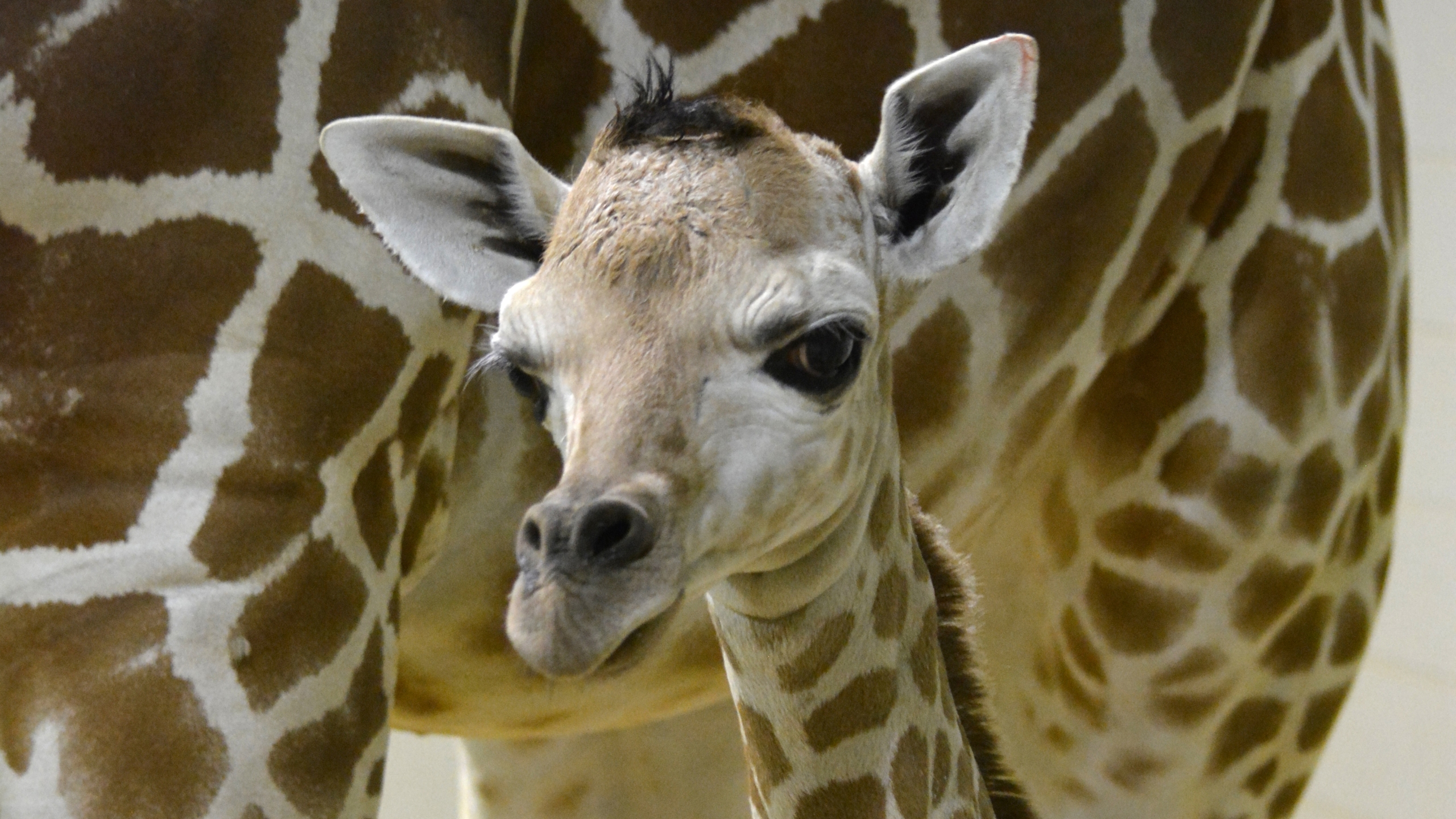 The Cheyenne Mountain Zoo welcomed its 200th giraffe calf Monday. Photo courtesy Cheyenne Mountain Zoo
