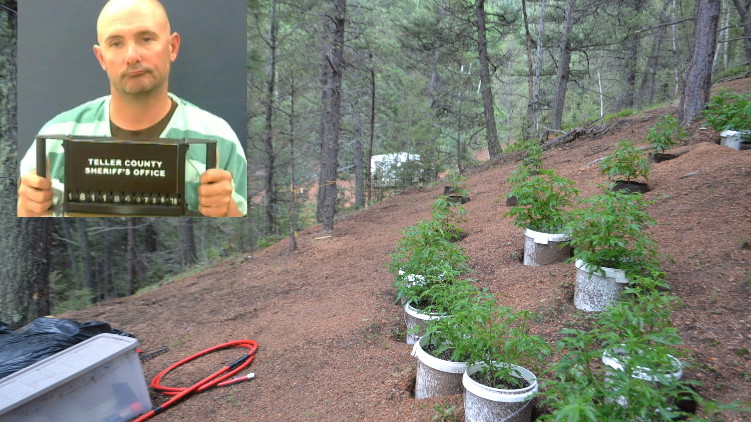 Bobby Scanlon was arrested in connection with this illegal marijuana grow near Divide Thursday. Teller County Sheriff's Office