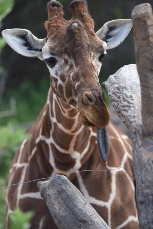 Uzuri Cheyenne Mountain Zoo