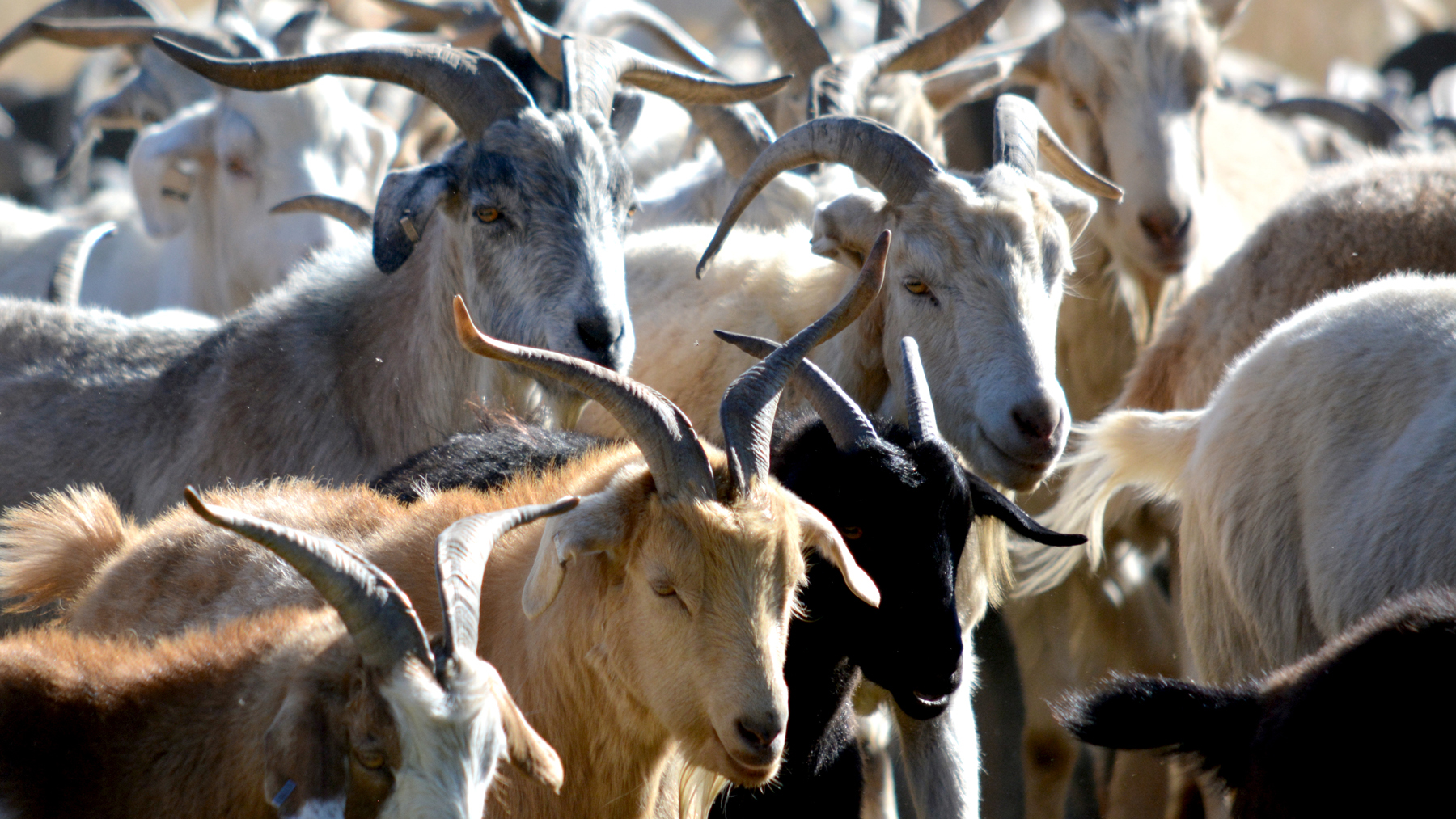 A herd of 500 weed-eating goats returned to Bear Creek Regional Park Friday. El Paso County Parks