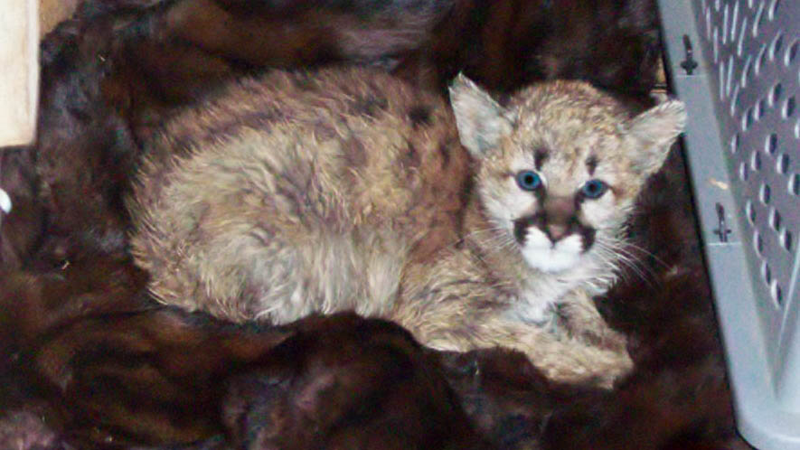 Colorado Parks and Wildlife rescued a mountain lion that was put in a cage and fed bratwurst at a Walsenburg home earlier this week. 2 Courtesy Colora