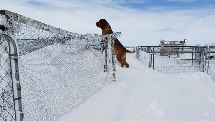 A dog plays in snowdrifts in Rush Thursday morning. FOX21 viewer Heather Cross