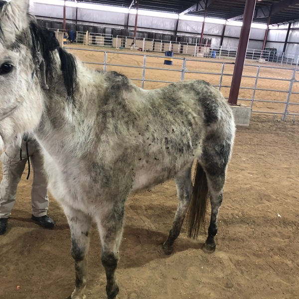 Deputies seized 10 emaciated horses from a property in eastern El Paso County Monday. El Paso County Sheriff's Office 1