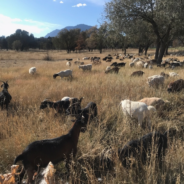 Weed-eating cashmere goats graze at Bear Creek Regional Park Friday, October 18. / Mike Duran - FOX21 News