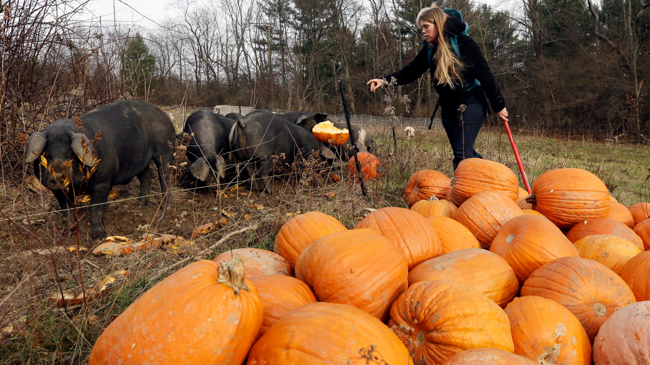 In this Thursday, Nov. 15, 2012 photo, Schuyler Gail feeds pumpkins to pigs at the family's Climbing Tree Farm in New Lebanon, N.Y. (AP Photo/Mike Groll)