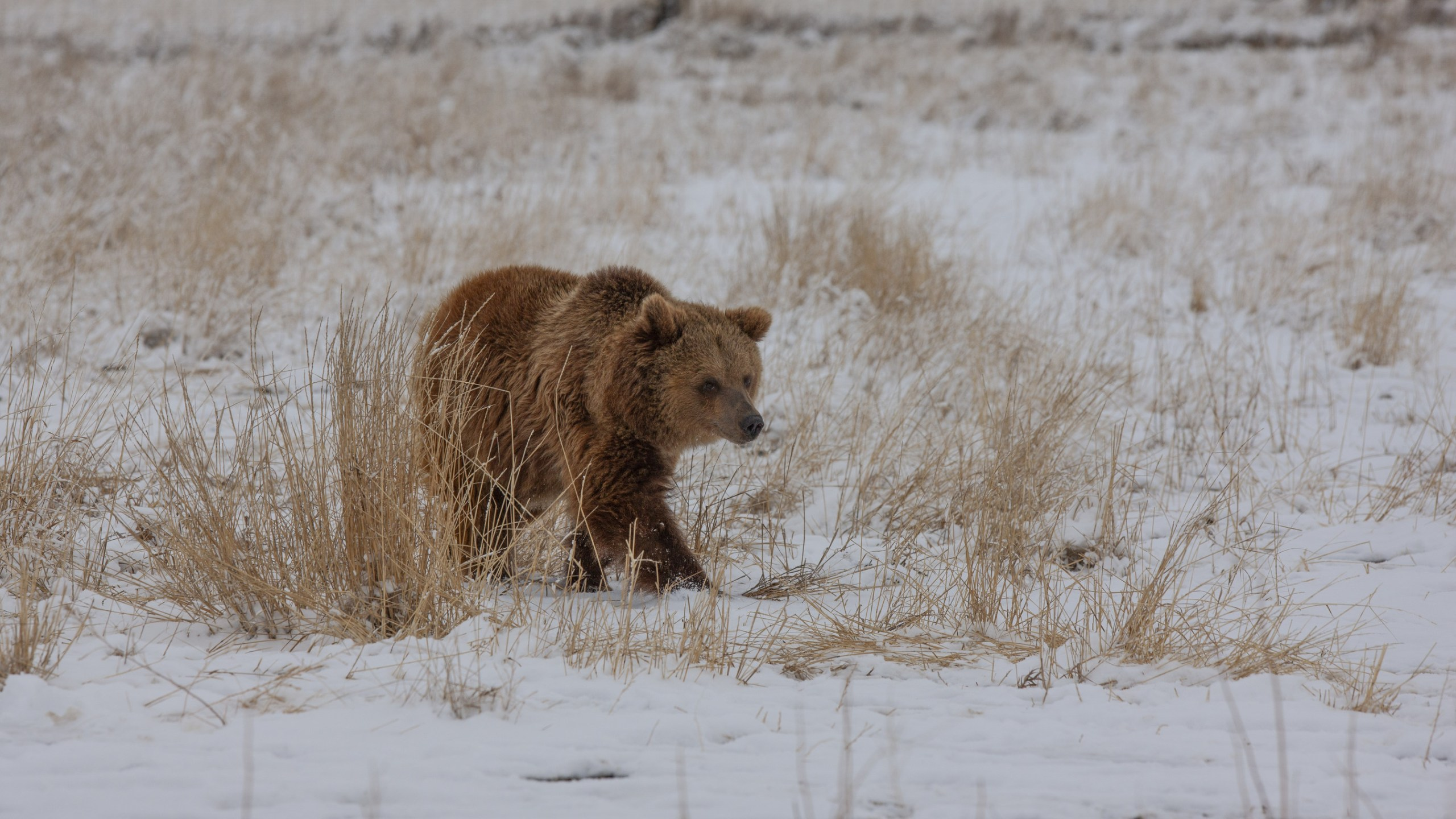 One of the grizzly bears enjoys her first steps of freedom in a natural, large-acreage habitat at The Wild Animal Sanctuary in Colorado. / Photo courtesy Wild Animal Sanctuary