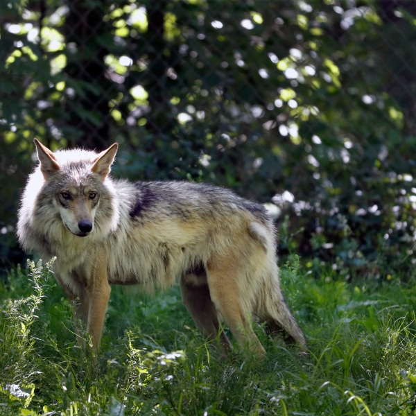 FILE - In this May 20, 2019, file photo, a Mexican gray wolf is seen at the Endangered Wolf Center in Eureka, Mo. (AP Photo/Jeff Roberson, File)