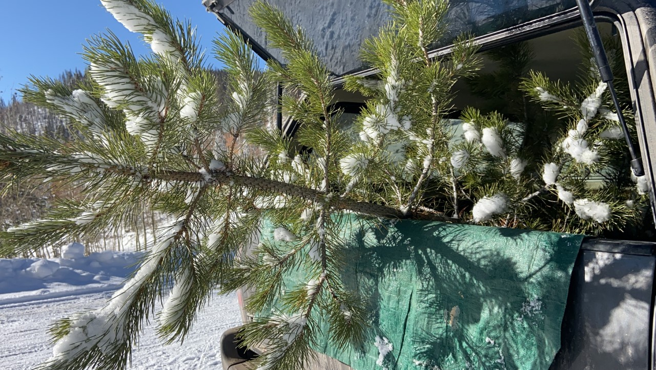 Christmas Tree Permits Colorado 2020 Christmas tree cutting permit sales begin   FOX21 News Colorado