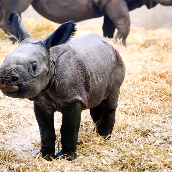 This greater one-horned rhino calf was born at the Denver Zoo Saturday morning. / Photo courtesy Denver Zoo