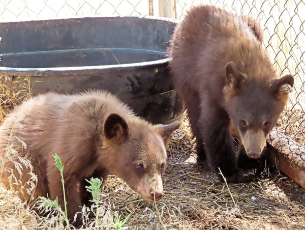 Two cubs caught in Manitou Springs are settling in at Wet Mountain Wildlife Rehabilitation in Wetmore. Colorado Parks and Wildlife and USDA wildlife experts trapped their sow early Saturday and euthanized her. / Photo courtesy Colorado Parks and Wildlife