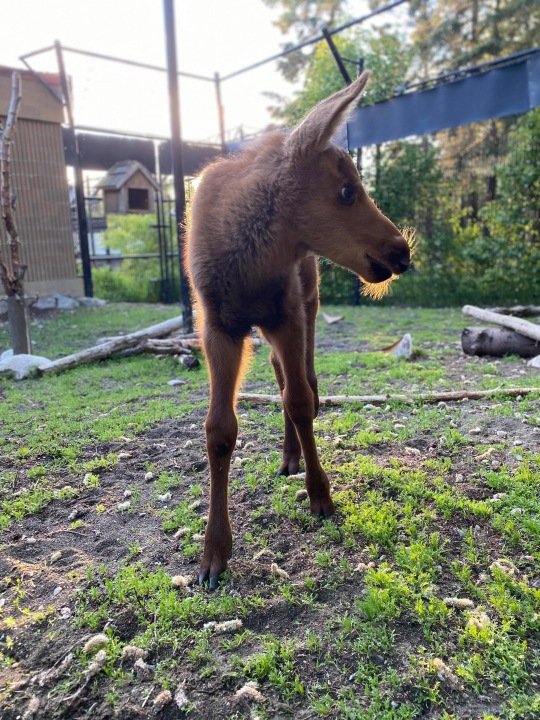 This 8-week-old moose calf is coming to the Cheyenne Mountain Zoo. / Photo courtesy Alaska Zoo