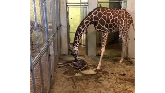 Bailey and the calf just after birth. / Still from video courtesy Cheyenne Mountain Zoo