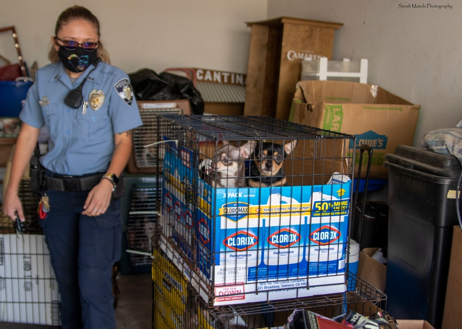 HSPPR Animal Law Enforcement officers retrieved 26 chihuahuas from a garage in Colorado Springs Wednesday. / Photo by @SarahMatulaPhotography, HSPPR photography volunteer