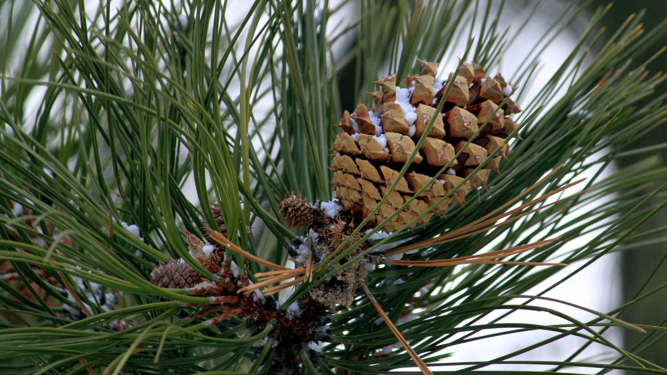 In this Thursday, Oct. 24, 2019, photo a partially open ponderosa pine cone sits in tree at Bandelier National Monument near Los Alamos, N.M. (AP Photo/Susan Montoya Bryan)