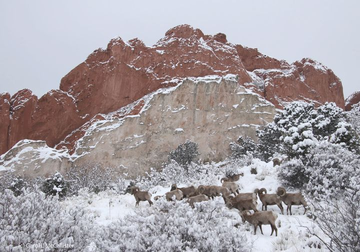 Photo by Carol McCallister of bighorn sheep at Garden of the Gods February 25, 2021.