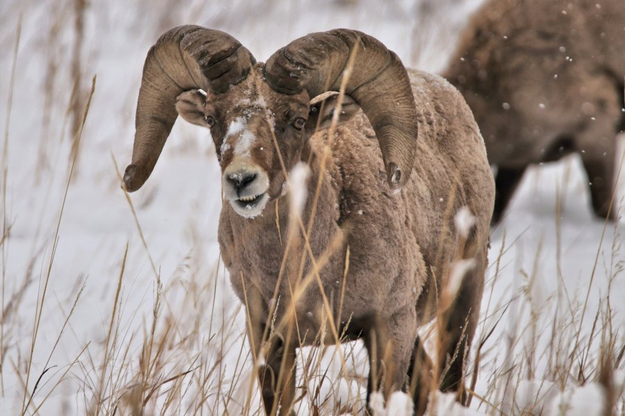 Photo by Jeffery Heizer of bighorn sheep at Garden of the Gods February 25, 2021.
