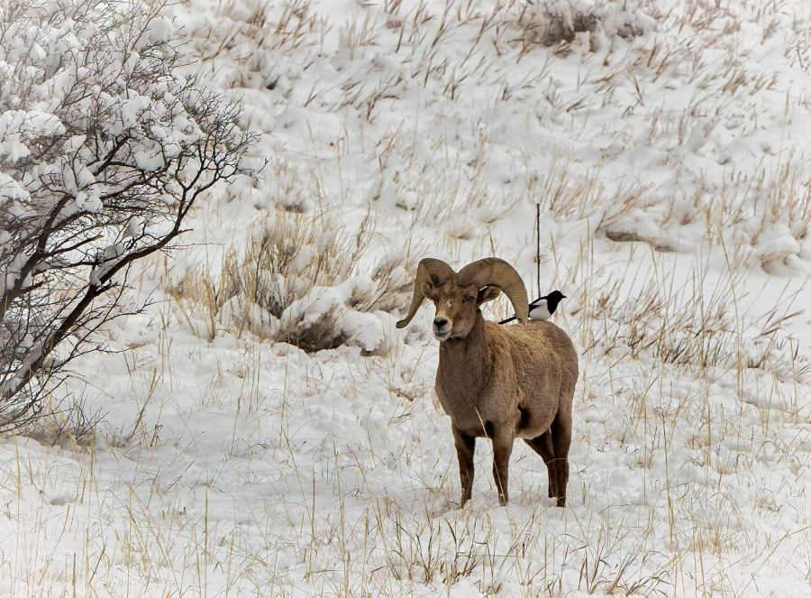 Photo by Larry Marr of bighorn sheep at Garden of the Gods February 25, 2021.