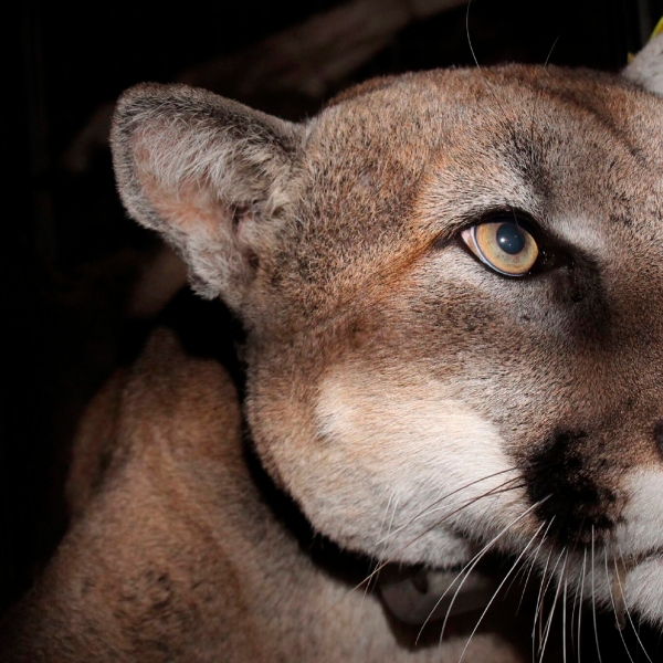 This Nov. 2020 photo provided by the U.S. National Park Service shows a mountain lion, dubbed P-78, taken with a remote field camera in the taken in the eastern Santa Susana Mountains at Towsley Canyon, in Los Angeles County. (NPS via AP)