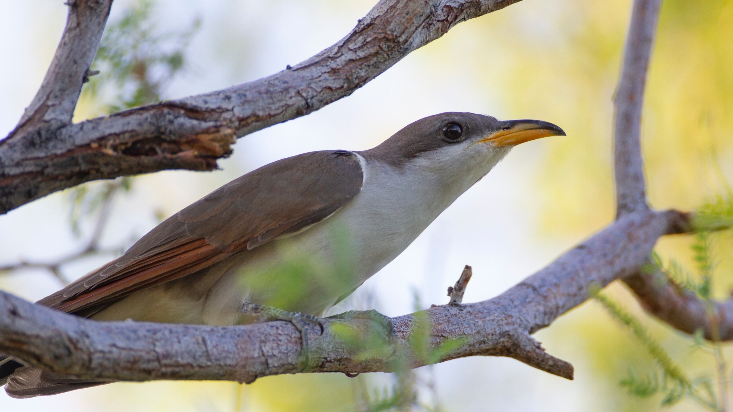 FILE - This July 8, 2019, file photo provided by the United States Fish and Wildlife Service, shows a yellow-billed cuckoo. (Peter Pearsall/United States Fish and Wildlife Service via AP, File)
