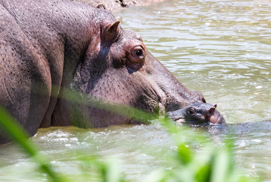 Nile hippopotamus Zambezi and her newborn / Courtesy Cheyenne Mountain Zoo